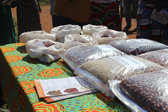 Irish Aid is supporting the production and access to nutritious and climate resilient bean varieties. Credit, Irish Aid Malawi.
